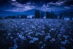 Molti fiori della camomilla su un prato alla notte fotografia stock