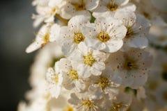 Molti fiori della ciliegia nella macro Immagini Stock Libere da Diritti