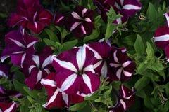 Molti fiori della petunia immagine stock