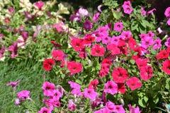 Molti fiori delle petunie Petunie nell'aiola Immagini Stock Libere da Diritti