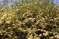 Molti fiori delle rose gialle, banksiae di Rosa o fiore rosa di signora la Banks che fiorisce nel giardino di estate fotografia stock libera da diritti