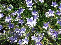 Molti fiori di campane blu per fondo floreale fotografia stock libera da diritti