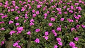 Molti fiori di fioritura in vasi, caldo moderno per i fiori crescenti molti fiori di fioritura si chiudono su video d archivio
