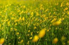 Molti fiori gialli, ranuncolo nel prato di fioritura di primavera Fotografie Stock Libere da Diritti