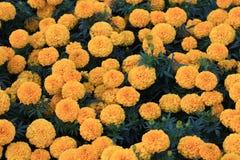 Molti fiori perfetti del tagete Fotografia Stock Libera da Diritti