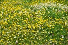 Molti fiori selvaggi gialli sul campo Fotografie Stock