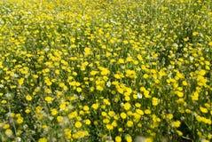 Molti fiori selvaggi gialli sul campo Fotografia Stock Libera da Diritti