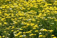 Molti fiori selvaggi gialli sul campo Fotografie Stock Libere da Diritti