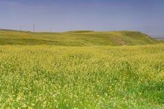 Molti fiori selvaggi gialli sul campo Immagine Stock