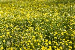 Molti fiori selvaggi gialli sul campo Fotografia Stock