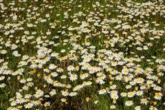 Molti fiori sull'erba Fotografia Stock Libera da Diritti