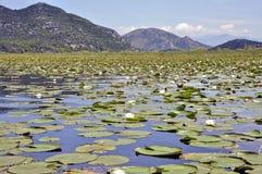Molti foglie e nenuphars verdi del giglio sul lago Skadar Fotografie Stock Libere da Diritti