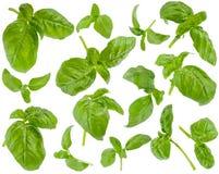 Molti foglie e ramoscelli verdi freschi del basilico ai vari angoli sul whi Fotografia Stock Libera da Diritti