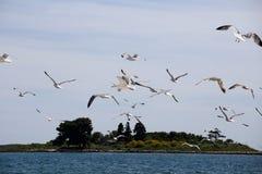 Molti gabbiani marini volanti Immagini Stock