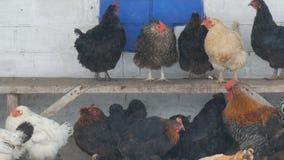 Molti galline, galli e polli differenti sedentesi nell'iarda rurale sul banco o sulla terra nella neve fine dell'inverno vola vic stock footage