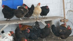 Molti galline, galli e polli differenti sedentesi nell'iarda rurale sul banco o sulla terra nella neve fine dell'inverno vola vic archivi video
