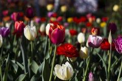 Molti generi di tulipani nel giardino - rosso, fiori bianchi e rosa fotografia stock libera da diritti