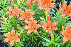 Molti gigli arancio, emerocallidi nel giardino immagine stock