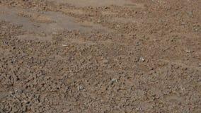 Molti granchi si alimentano la spiaggia a bassa marea stock footage