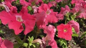 Molti grandi fiori rossi nella città fanno il giardinaggio archivi video
