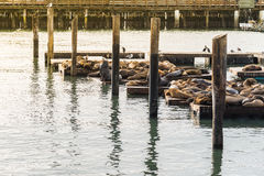 Molti leoni marini prendono il sole sul pilastro 39 a San Francisco U.S.A. Immagini Stock