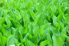 Molti mughetti verdi nel letto di fiore Fiori non maturi Struttura immagini stock libere da diritti
