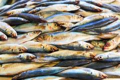 Molti pesci Fotografie Stock Libere da Diritti