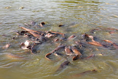 Molti pesci che spruzzano nel lago Immagine Stock