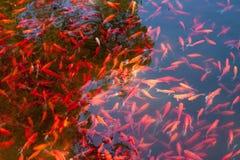 Molti pesci del carpiod di cryprinus nello stagno Immagini Stock