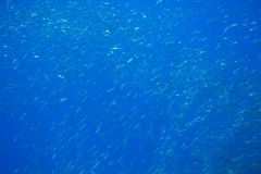 Molti pesci della sardina in acqua blu Foto subacquea dei pesci di mare Carosello pelagico della colonia del pesce in acqua di ma immagine stock libera da diritti
