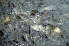 Molti pesci sono lotta più per alimento, alimentando il fiume del pesce in Tailandia Immagini Stock Libere da Diritti
