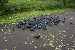 Molti piccioni che mangiano alimento sul pavimento in parco immagine stock