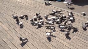 Molti piccioni che sono Fed On Wooden Surface archivi video