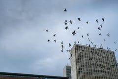 Molti piccioni della città che volano attraverso un cielo scuro con gli edifici per uffici Fotografie Stock