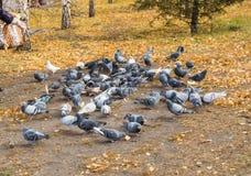 Molti piccioni intorno ad alimentazione sparsa Fuoco vago Immagini Stock Libere da Diritti