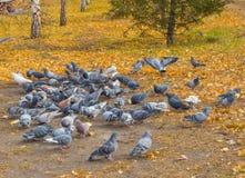 Molti piccioni intorno ad alimentazione sparsa Fuoco vago Fotografia Stock Libera da Diritti