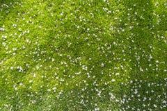 Molti piccoli fiori bianchi nel punto di vista superiore di erba Immagine Stock