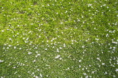 Molti piccoli fiori bianchi nel punto di vista superiore di erba Fotografia Stock