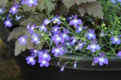 Molti piccoli fiori porpora Fotografia Stock