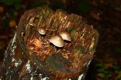 Molti piccoli funghi su un primo piano del ceppo di albero immagine stock