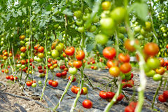 Molti pomodori in una serra Fotografia Stock Libera da Diritti