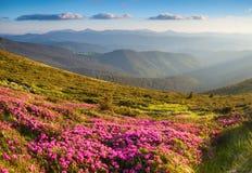 Molti rododendri rosa piacevoli sulle montagne Immagini Stock Libere da Diritti