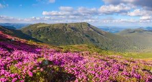 Molti rododendri rosa piacevoli sulle montagne Fotografie Stock Libere da Diritti