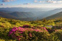 Molti rododendri rosa piacevoli sulle montagne Fotografie Stock