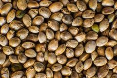 Molti semi della cannabis Canapa organica Vista superiore Fondo delle canapa nella macro Macro dettaglio del seme della marijuana immagine stock libera da diritti