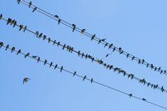Molti swallows su collegare Immagine Stock