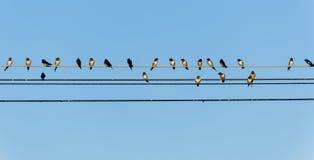 Molti swallows su un collegare Fotografie Stock Libere da Diritti