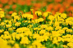 Molti tageti gialli Fotografia Stock