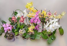 Molti tipi di rami colorati dell'orchidea fiorisce, vasi da fiori Fotografia Stock Libera da Diritti