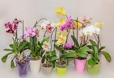 Molti tipi di rami colorati dell'orchidea fiorisce, vasi da fiori e vaso Fotografie Stock